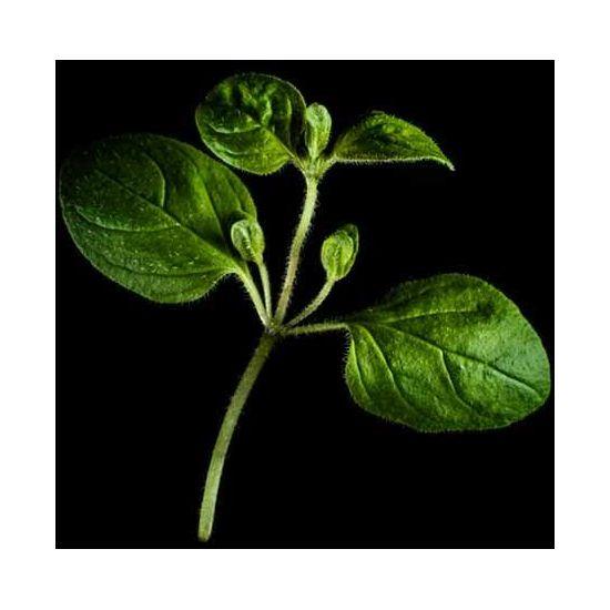 Plantui Oregano, 3 kapsle, dobromysl obecná (oregano)